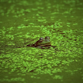 A World in Green by Sue Delia - Animals Amphibians ( frog, green, amphibian, pond )