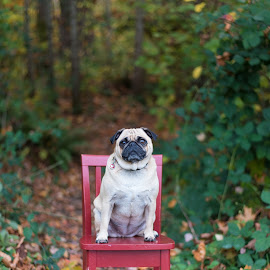 Red Chair by Jennifer Wollman - Animals - Dogs Portraits ( animals, pet photography, dogs, fall, pugs, dog portraits )