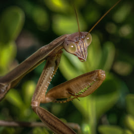Garden Insect by Dennis McClintock - Animals Insects & Spiders ( garden bug, green, bug, green eyes, insect, praying mantis )