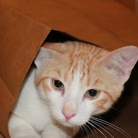 Lacy in a Bag by Amanda Saxton-Jenson - Animals - Cats Portraits (  )