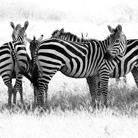 Zebras in the wild by Pravine Chester - Black & White Animals ( animals, monochrome, nature, black and white, wildlife, zebras )