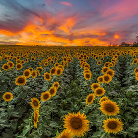 Grinter Farms Sunset by Rusty Parkhurst - Landscapes Sunsets & Sunrises ( clouds, sunset, sunflowers, flowers, grinter farms )