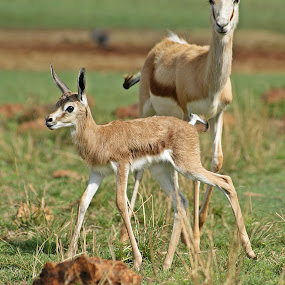 Newborn by Charmane Baleiza - Animals Other Mammals ( charmane baleiza, mammel, wildlife, springbok, newborn )