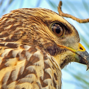 hawk portrait by Alan Potter - Animals Birds