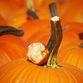 by Robin Amaral - Nature Up Close Gardens & Produce ( pumpkin patch, fall colors )
