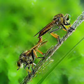 making love by Hendrata Yoga Surya - Animals Insects & Spiders ( insects, robber, robberfly, robber fly )