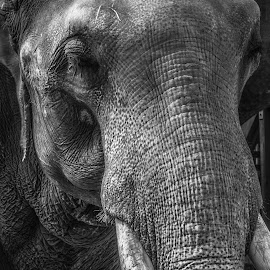 Tusk by Michael Connor - Animals Other Mammals ( black and white, texture, elephant, tusk, mammal )