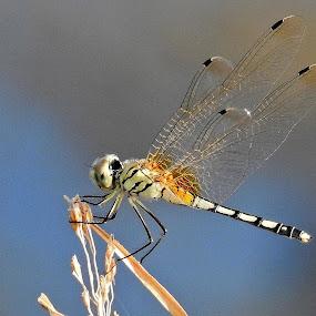A dragonfly. by Govindarajan Raghavan - Animals Other (  )
