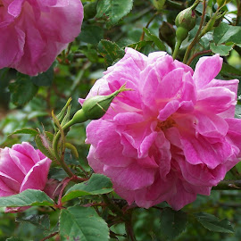 Roses by Sarah Harding - Novices Only Flowers & Plants ( plant, nature, novices only, garden, flower )
