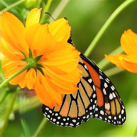 Flower garden and monarch by Mary Gallo - Flowers Flower Gardens ( orange, nature up clsoe, flowers, orange flowers, green, nature, garden flowers, monarch,  )
