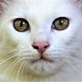White. by Anoop Namboothiri - Animals - Cats Portraits
