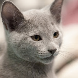 Kitten's portrait by Aleksander Cierpisz - Animals - Cats Portraits ( face, kitten, cat, pedigree, bokeh, portrait, fullface, high key, russian blue, cover, russian, full, purebreed, blue, rus, high, light, key, profile )