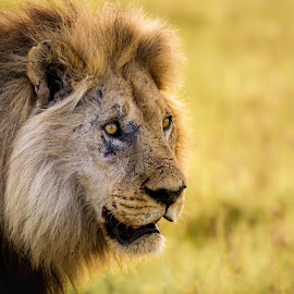 Looking by Gary Want - Animals Lions, Tigers & Big Cats ( okavango delta, kwara, botswana, lion, safari, africa, #wildlife, #locations )