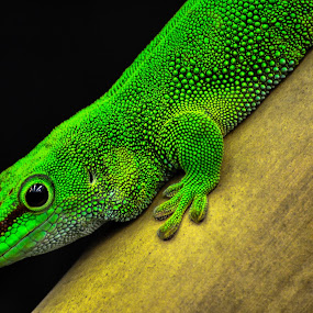 Gecko by Alan Potter - Animals Reptiles ( {add your keywords separated by semicolons} )
