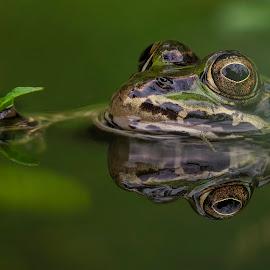Frog by Helmut Gloor - Animals Amphibians ( macro, close up, frog, focus stacking, closeup, nature, olympus, macrophotography, macro photography, nature up close, handheld, amphibian,  )