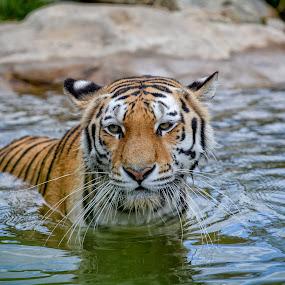 Tiger  by Robert Grim - Animals Lions, Tigers & Big Cats ( tiger, czech republic, foto,  )