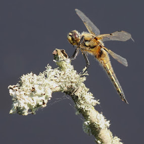 Four Spot Chaser by Carol Lauderdale - Animals Insects & Spiders ( close up, dragonflies, four spot chaser, nature, insects )