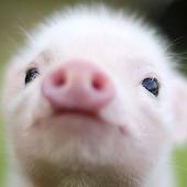 App live pig wallpaper APK for Kindle