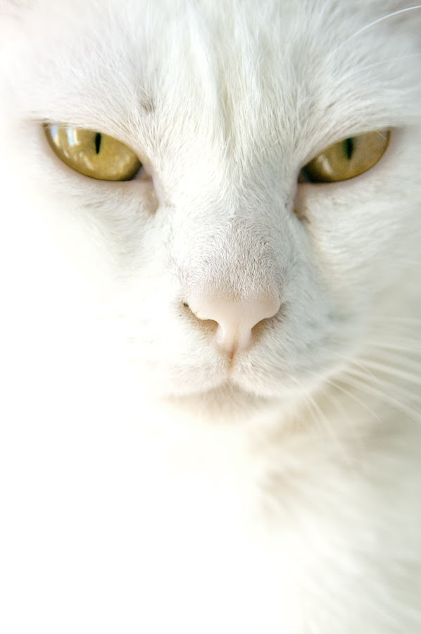 the white cat by Giovanna del Bufalo - Animals - Cats Portraits ( cat, white, glaze, eyes )