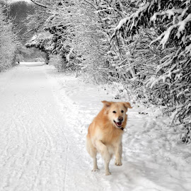 Dubbi in the snow by Morly Frishman - Animals - Dogs Running ( cold, amsterdamse bos, snow, white, amsterdam, dog, running,  )