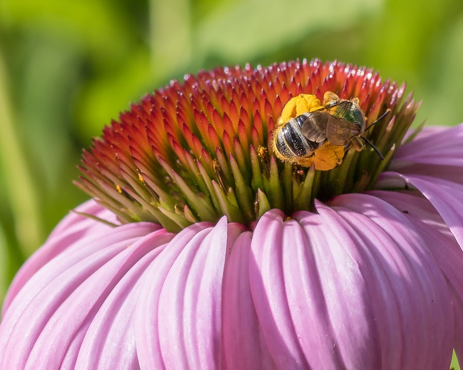 by Joan Sharp - Flowers Single Flower ( coneflower, dark pink, pink )