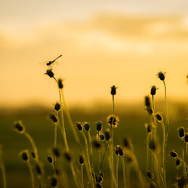 A Hopper Atop by Ynon Francisco - Nature Up Close Other plants ( sky, grass, meadow, weeds, insect, grasshopper, reeds )