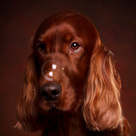 And for my next trick by Ken Jarvis - Animals - Dogs Portraits ( irish setter, bubbles, dog portrait, irish, dog )