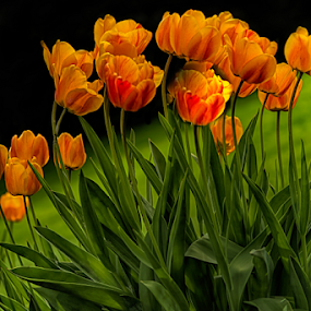 Orange Tulips by Nancy Merolle - Flowers Flower Gardens ( orange tulips, flower garden, nature, tulips, flowers, spring, garden )