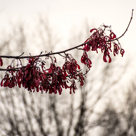 Maple Branch with Seeds by Thomas Shaw - Nature Up Close Trees & Bushes ( maple tree seeds, landscape, helicopters, spring, photography, maple tree, red, sky, background, landscape photography, trees, branch, seeds, brown, springtime )