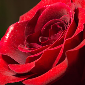 Rose2 by Camruin Kilsek - Nature Up Close Flowers - 2011-2013