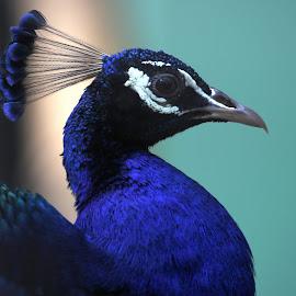 The Royal Beauty by Gayatri Pimple - Animals Birds ( close up, beauty, bird photos, nature up close, beauty in nature, birds, portrait, blue, closeup, bird photography, bird, peacock, bird of paradise, nature close up, crown )