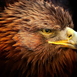 In The Light by Pat Hartley - Animals Birds ( bird, bird of prey, eagle, beak, raptor, feathers, eye )