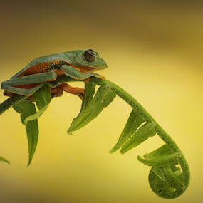 wallace flying frog by Tele Nicotin - Animals Amphibians ( flying, frog, wallace )