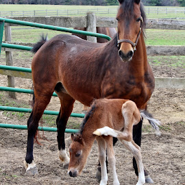 The Itch by Maureen Rueffer - Animals Horses ( horses, colt, brown, baby animals, spring )