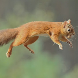 Flying Red Squirrel by Col Page - Animals Other ( squirrel red cairngorms nuts scotland )