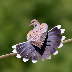 Oriental Turtle-dove by Zahoor Salmi - Animals Birds ( animals, nature, wildlife, zahoorsalmi, birds )