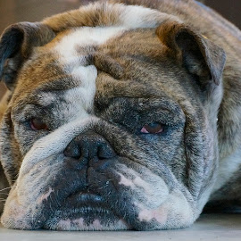 Axel by Barbara Brock - Animals - Dogs Portraits ( bulldog, english bulldog, pet, bulldog lying down, bulldog eye contact, dog )