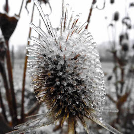 ice by Raluca Bălan - Nature Up Close Other plants ( winter, ice, thrones, plants, game,  )