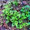 Redshank plant