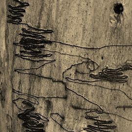 Scribbly Beetle Bark by Sarah Harding - Novices Only Macro ( sepia, macro, nature, tree, novices only )