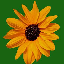 yellowish by SANGEETA MENA  - Flowers Flowers in the Wild