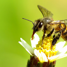 Bee by Zlatan Dawamovic - Animals Insects & Spiders