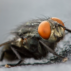Fly From The Eye by Bill Tiepelman - Animals Insects & Spiders ( macro, fly, vritter, house fly, bug, insect )