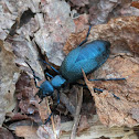 Oil Beetle