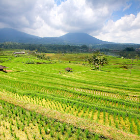 Bali rice fields by Tan  Kian Yong - Landscapes Travel ( field, bali, terrace, rice, indonesia, paddy, travel )