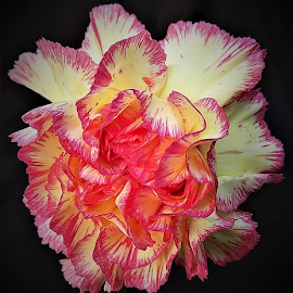 Carnation by Mary Gallo - Flowers Single Flower ( macro flower, nature, single flower, carnation, nature up close, flower )