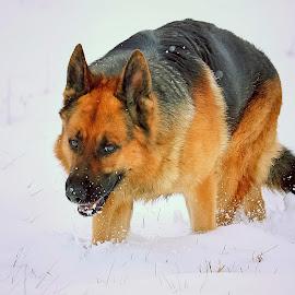 The Happy Boy by Sue Delia - Animals - Dogs Portraits ( snow, german shepherd,  )