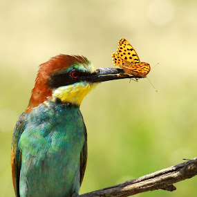 Butterflies to dinner by Doina Russu - Animals Birds ( dinner, bird, butterflies, merops apiaster, bee eater )