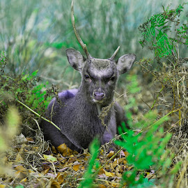 KNOLE PARK by Gjunior Photographer - Animals Other ( animals, nature, landscape, deer )