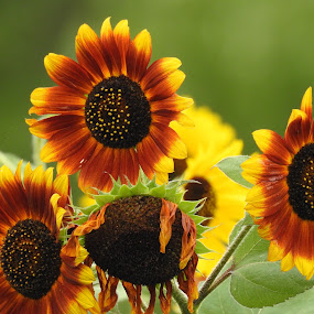 Sunny Joy by Kathy Woods Booth - Flowers Flower Gardens ( flower photography, flowers, happy, sunflowers, sunflower )